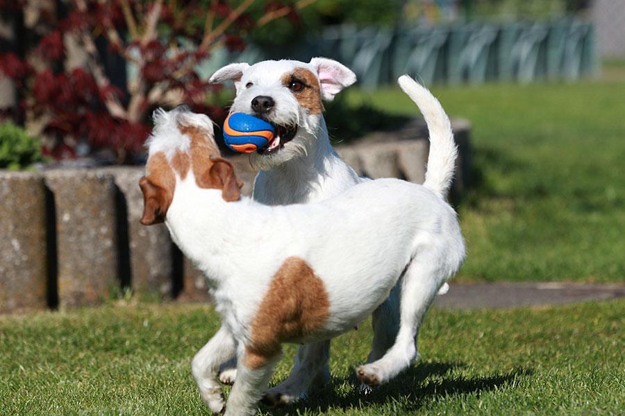 Garten - Terrier - Bälle